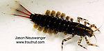 Isonychia bicolor (Mahogany Dun) Mayfly Nymph