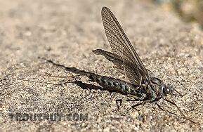 Female Siphlonurus occidentalis (Gray Drake) Mayfly Dun