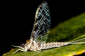 Female Callibaetis ferrugineus (Speckled Spinner) Mayfly Spinner
