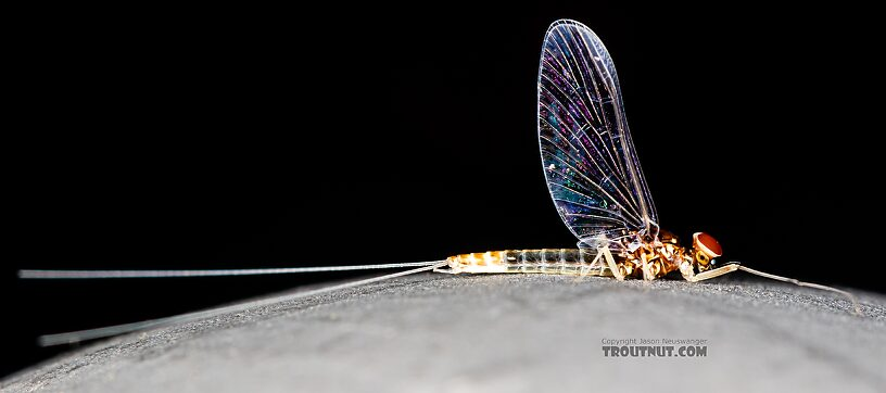 Male Baetis tricaudatus (Blue-Winged Olive) Mayfly Spinner from Silver Creek in Idaho