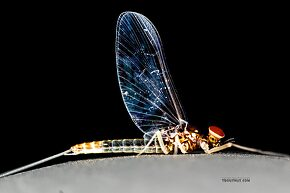 Baetis tricaudatus (Blue-Winged Olive) Mayfly Spinner