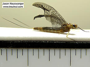 Female Isonychia bicolor (Mahogany Dun) Mayfly Nymph