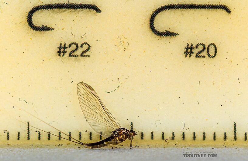 Female Baetis tricaudatus (Blue-Winged Olive) Mayfly Spinner from Silver Creek in Idaho