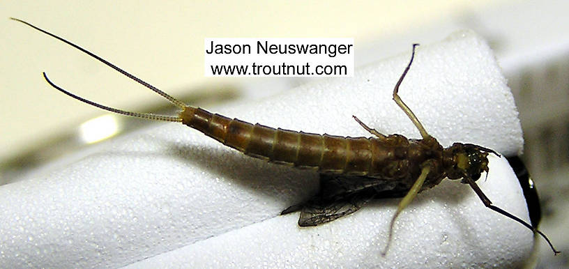 Female Isonychia bicolor (Mahogany Dun) Mayfly Nymph from the Beaverkill River in New York
