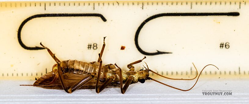 Male Doroneuria baumanni (Golden Stone) Stonefly Adult from the Foss River in Washington