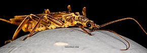 Male Perlidae (Golden Stones) Stonefly Adult
