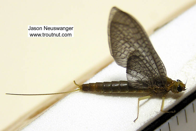 Female Isonychia bicolor (Mahogany Dun) Mayfly Dun from the Beaverkill River in New York