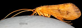 Male Onocosmoecus unicolor (Great Late-Summer Sedge) Caddisfly Adult