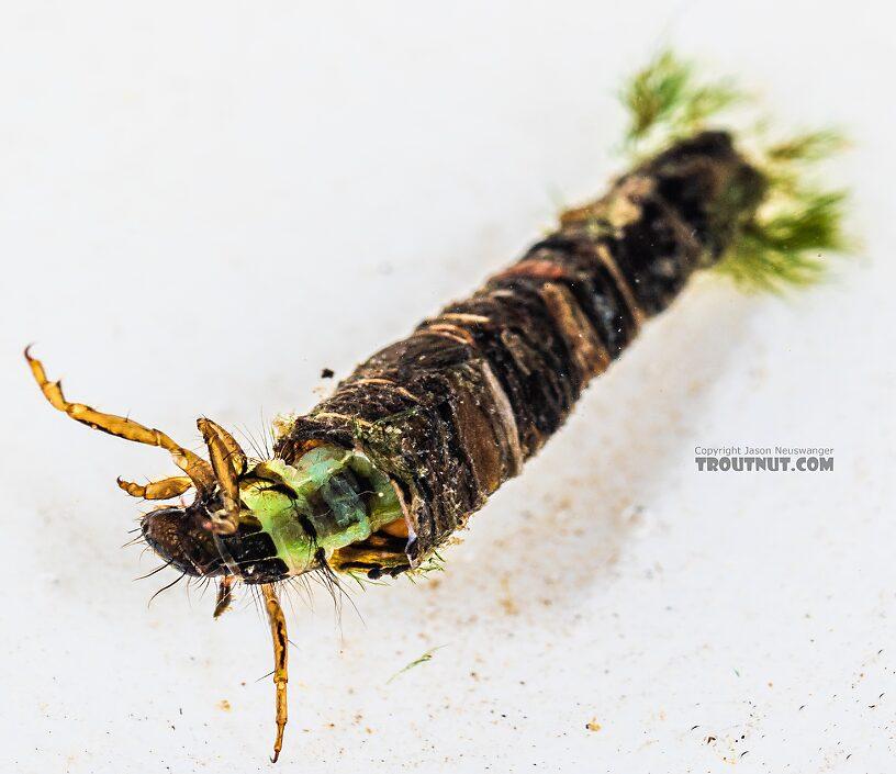 Brachycentrus (Grannoms) Caddisfly Larva from the Yakima River in Washington