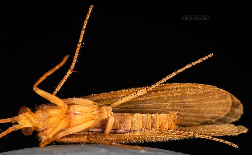Male Onocosmoecus unicolor (Great Late-Summer Sedge) Caddisfly Adult from the Yakima River in Washington