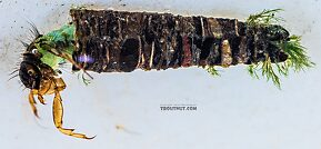 Brachycentrus (Grannoms) Caddisfly Larva