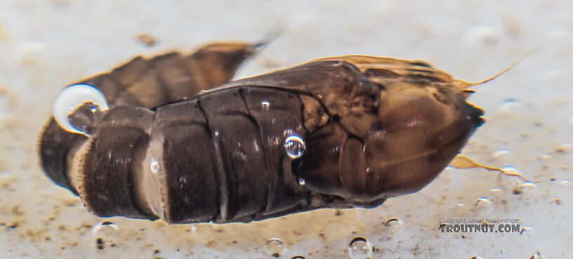 Dixidae True Fly Pupa from the Yakima River in Washington