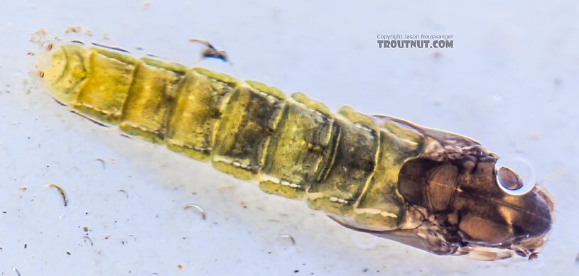Chironomidae (Midges) Midge Pupa from the Yakima River in Washington