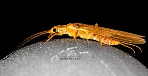 Female Plecoptera (Stoneflies) Insect Adult