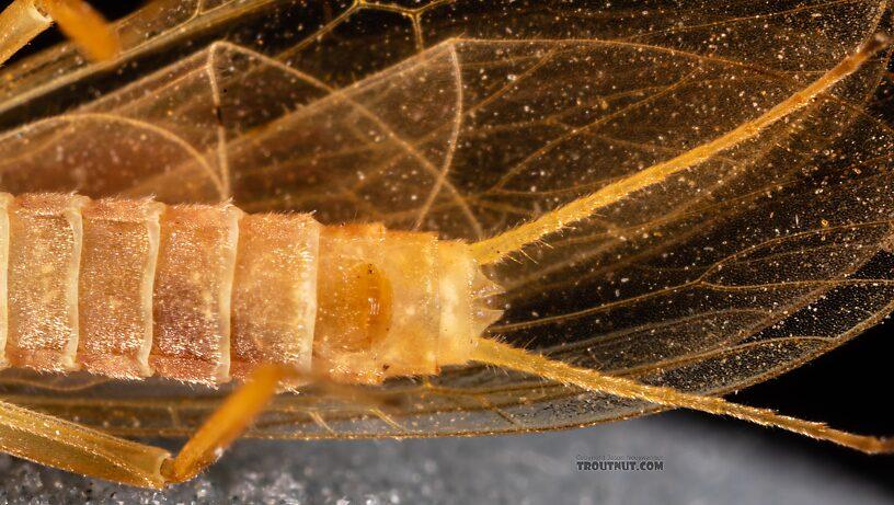 Female Plecoptera (Stoneflies) Stonefly Adult from the Yakima River in Washington