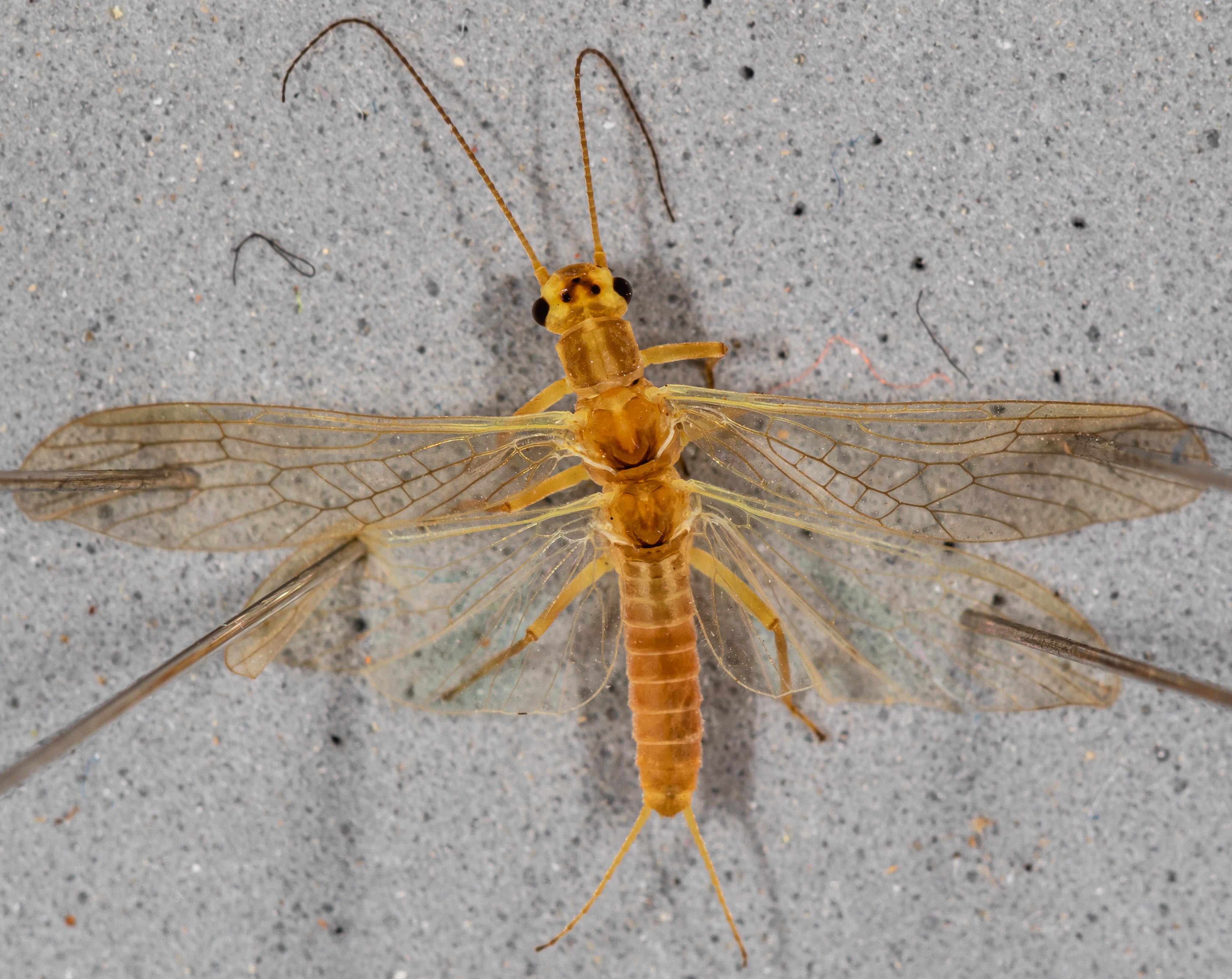 Female Isoperla fusca (Yellow Sally) Stonefly Adult from the Yakima River in Washington