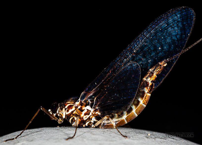 Appears to be Siphlonurus autumnalis  Female Siphlonurus autumnalis (Gray Drake) Mayfly Spinner from Mystery Creek #249 in Washington