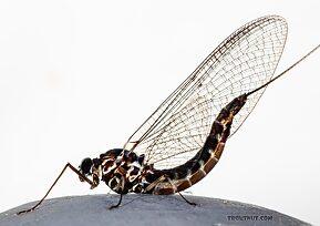 Female Siphlonurus autumnalis (Gray Drake) Mayfly Spinner