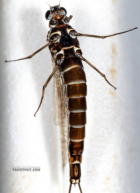 Female Siphlonurus autumnalis (Gray Drake) Mayfly Spinner from Mystery Creek #249 in Washington