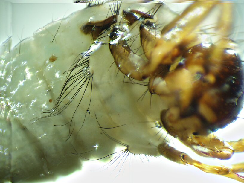 Submesal setae on the first abdominal segment.  Brachycentrus americanus (American Grannom) Caddisfly Larva from the Yakima River in Washington