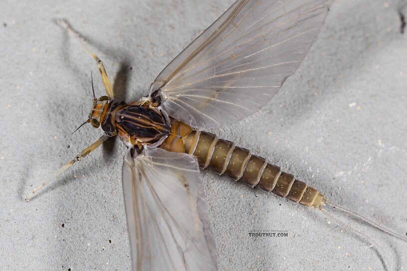 Female Baetis tricaudatus (Blue-Winged Olive) Mayfly Dun from the Yakima River in Washington