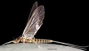 Female Baetis tricaudatus (Blue-Winged Olive) Mayfly Dun