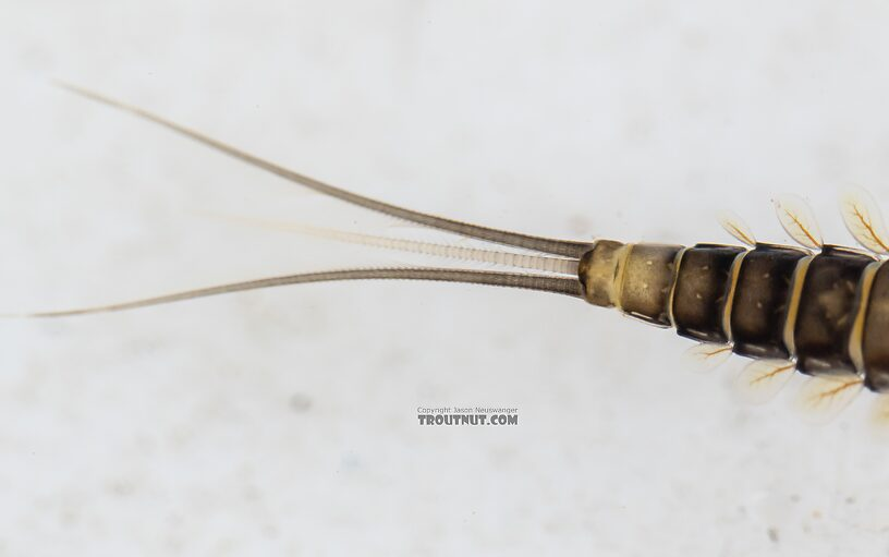 Female Baetis tricaudatus (Blue-Winged Olive) Mayfly Nymph from the Yakima River in Washington
