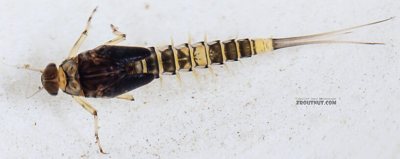 Male Baetis tricaudatus (Blue-Winged Olive) Mayfly Nymph from the Yakima River in Washington