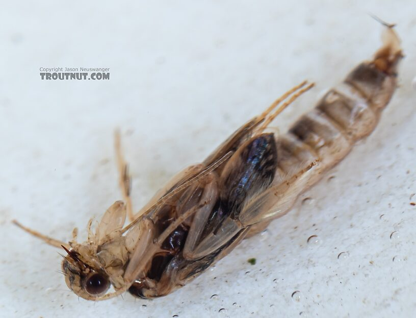 Helicopsyche borealis (Speckled Peter) Caddisfly Pupa from the Yakima River in Washington