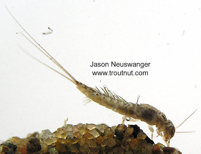 Leptophlebia cupida (Black Quill) Mayfly Nymph from the Namekagon River in Wisconsin