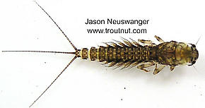 Leptophlebia (Black Quills and Blue Quills) Mayfly Nymph