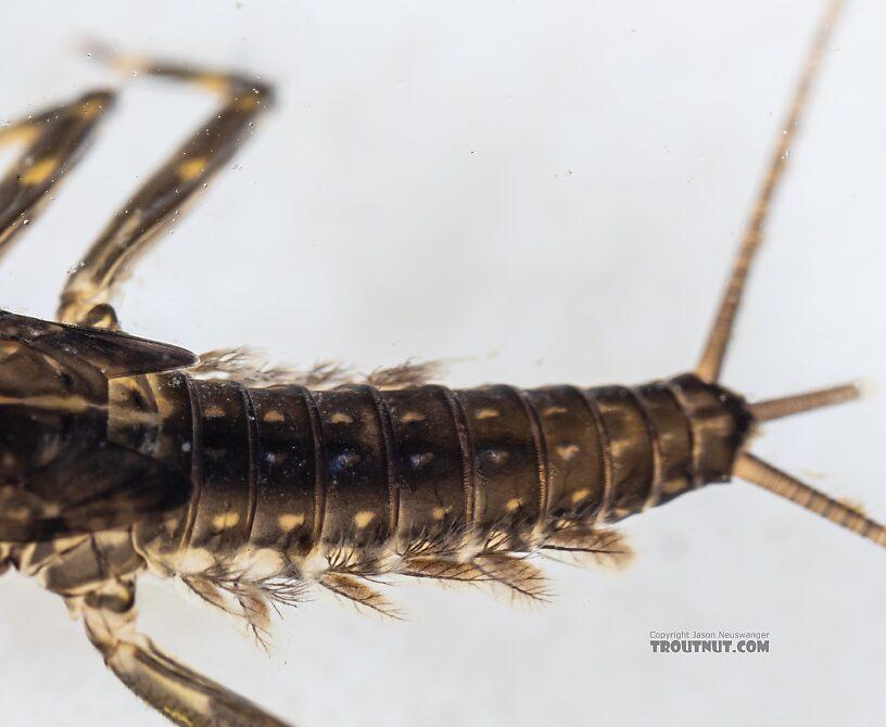 Heptagenia pulla (Golden Dun) Mayfly Nymph from the Yakima River in Washington