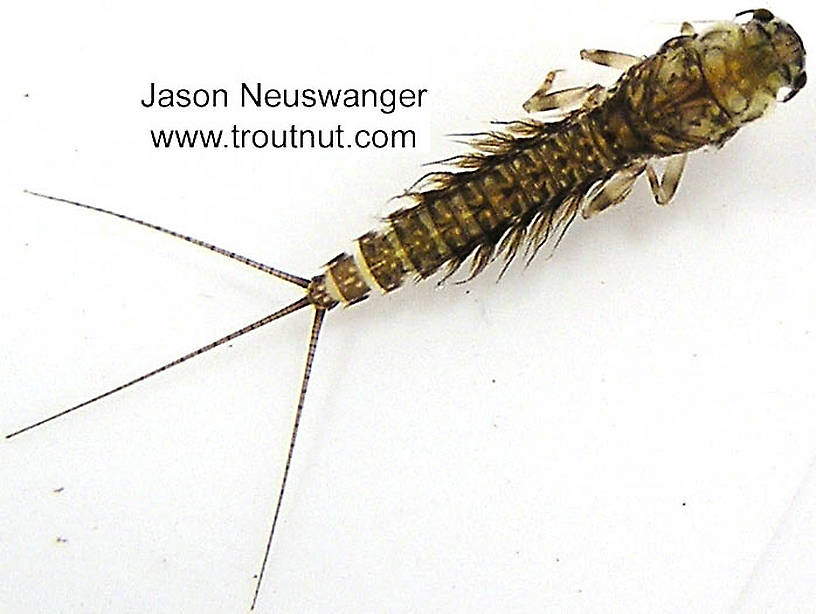 Leptophlebia (Black Quills and Blue Quills) Mayfly Nymph from the Bois Brule River in Wisconsin
