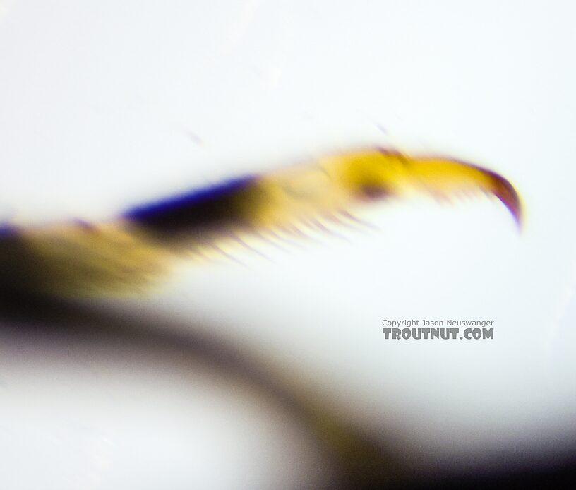 Ephemerella excrucians (Pale Morning Dun) Mayfly Nymph from the Yakima River in Washington