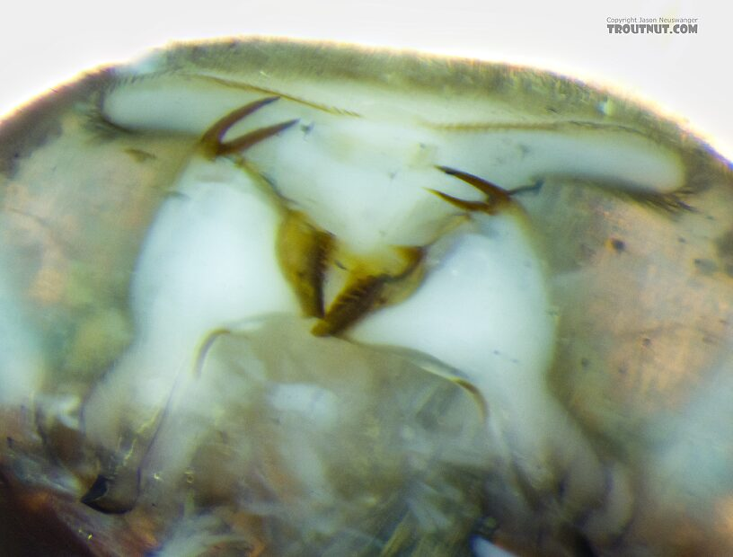 Closeup of the mandibles with the labium removed, showing the asymmetry (straight edge on the insect's left side, angled on its right) that helps diagnose the species.  Heptagenia pulla (Golden Dun) Mayfly Nymph from the Yakima River in Washington
