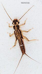Isoperla fusca (Yellow Sally) Stonefly Nymph