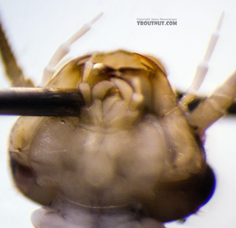 Isoperla fusca (Yellow Sally) Stonefly Nymph from the Yakima River in Washington