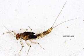 Male Baetis bicaudatus (BWO) Mayfly Nymph