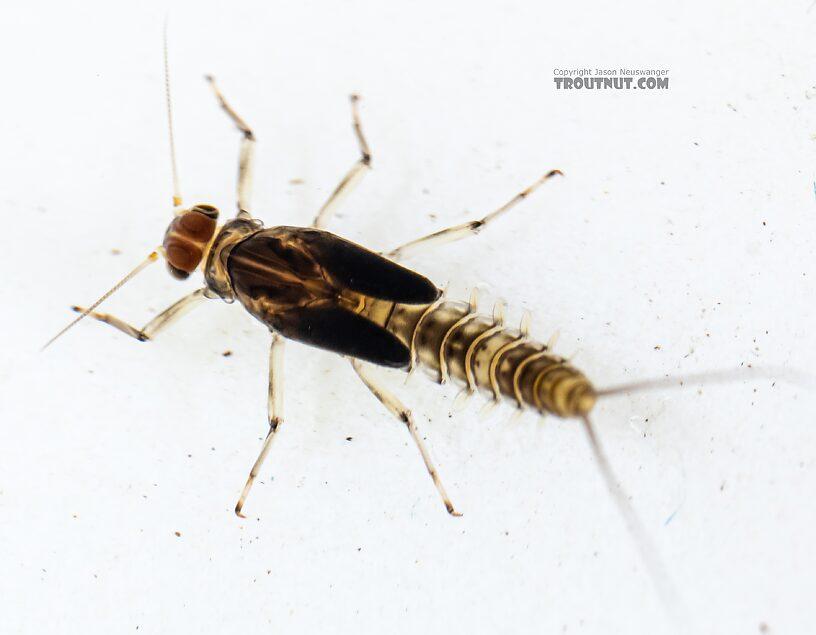 Male Baetis bicaudatus (BWO) Mayfly Nymph from Holder Creek in Washington