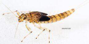Female Baetis bicaudatus (BWO) Mayfly Nymph