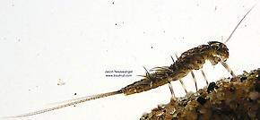 Leptophlebia cupida (Borcher Drake) Mayfly Nymph