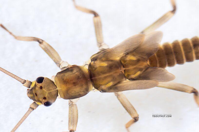 Taenionema (Willowflies) Stonefly Nymph from Holder Creek in Washington