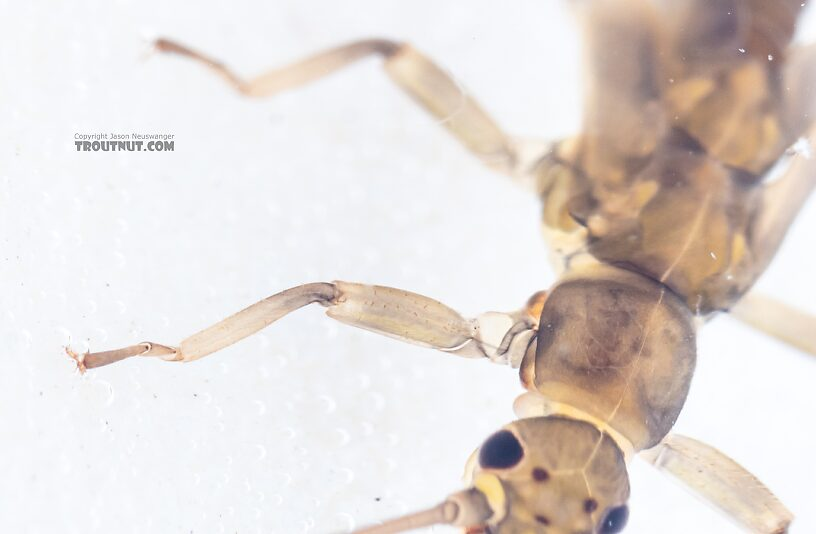 The second tarsal segment here is a bit longer than the first rather than much shorter, which distinguishes this specimen as Taeniopterygidae instead of Nemouridae.  Taenionema (Willowflies) Stonefly Nymph from Holder Creek in Washington
