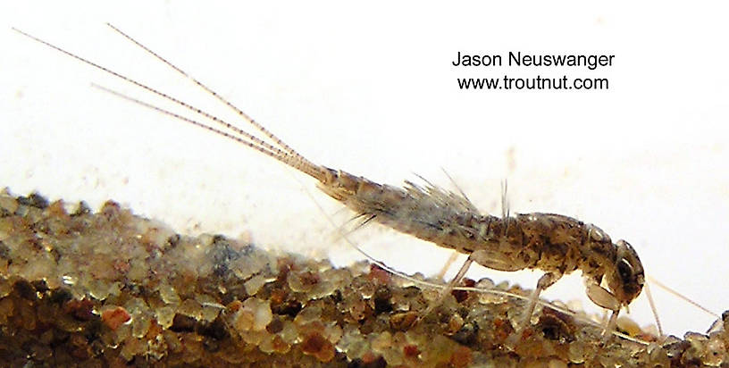 Leptophlebia cupida (Black Quill) Mayfly Nymph from the West Fork of the Chippewa River, Headwaters in Wisconsin