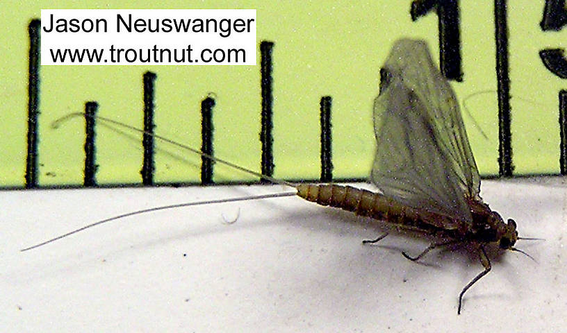 Female Baetidae (Blue-Winged Olives) Mayfly Dun from unknown in Wisconsin