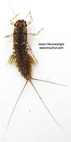Leptophlebia cupida (Black Quill) Mayfly Nymph