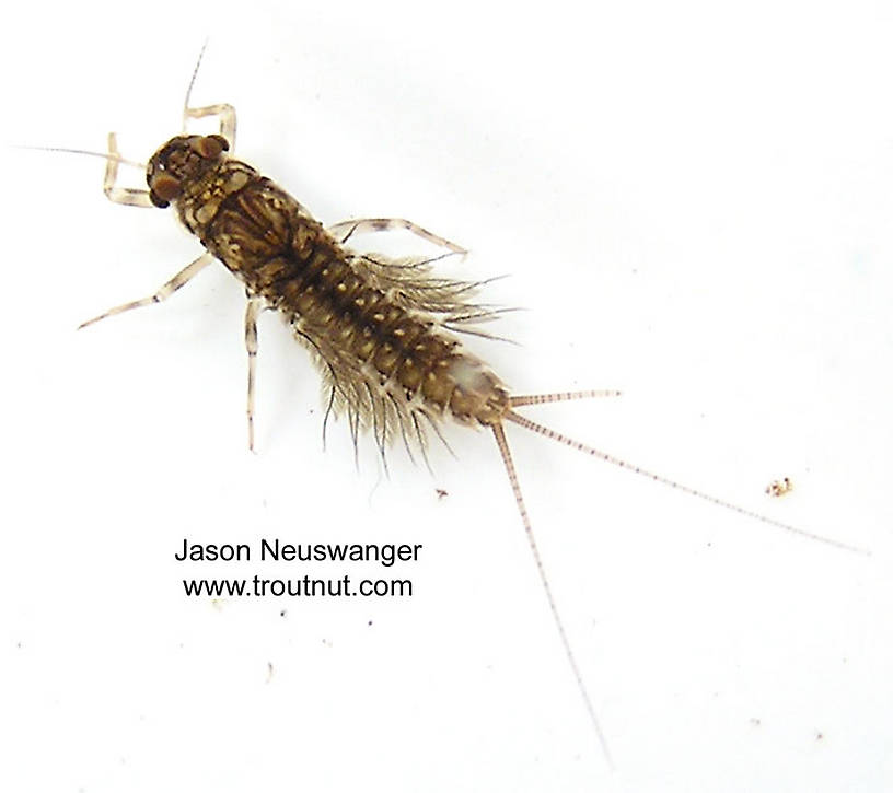 Leptophlebia cupida (Borcher Drake) Mayfly Nymph from the West Fork of the Chippewa River, Headwaters in Wisconsin