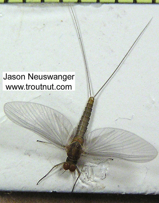 Here you can easily see the very small hind wings that are useful in identifying Baetid mayflies.  Male Baetidae (Blue-Winged Olives) Mayfly Dun from unknown in Wisconsin