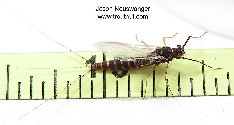 Female Leptophlebia cupida (Black Quill) Mayfly Spinner from unknown in Wisconsin
