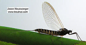 Female Leptophlebia cupida (Black Quill) Mayfly Spinner